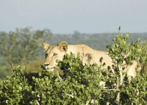 Female Lion on the hunt - Tsavo East
