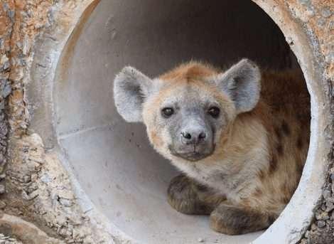 hyena at amboseli national park kenya