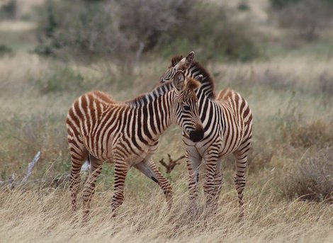 young-zebras